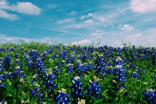 Unsplash Bluebonnets roberta-guillen-77920