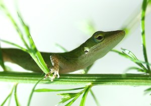 Green_Anole_Lizard