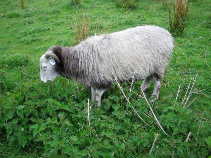 Sheep Eat Nettles