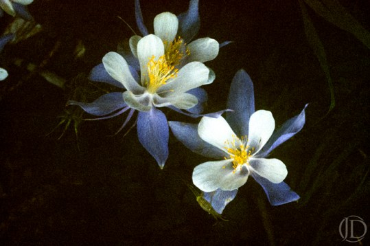 Columbines At Night - $1200 - 11x17 Kodachrome Color C Print in 18x22 frame - Edition of 10