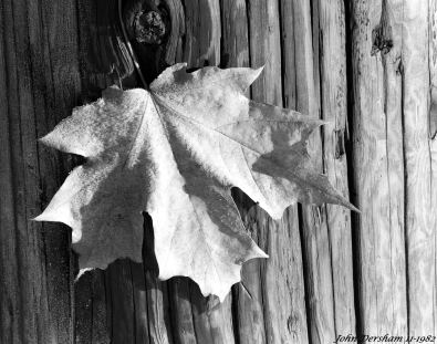 11-7-1982-Frost covered Maple leave-Bucks County Pennsylvania-Linhof Technika V camera-150mm Schneider Symmar S-Kodak Tri X Pan Pro 4x5 film-Kodak HC110B developer.