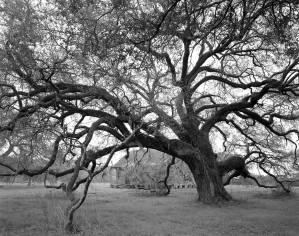 9-1994 Evergreen Plantation-Louisanna-Live Oak tree-4x5 film-Linhof camera-PMK Pyro developer.