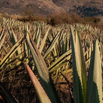 Inclined, Agave, by John Dowell artist photographer