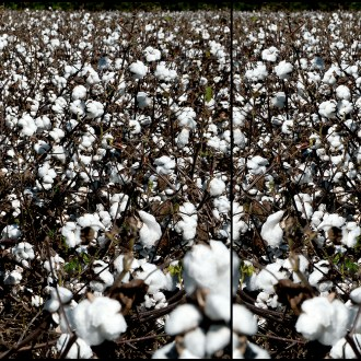 , Cotton, by John Dowell artist photographer
