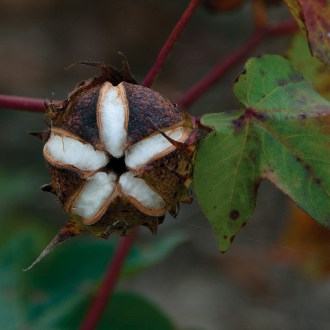 Perfect Cotton, Cotton, by John Dowell artist photographer