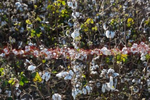 Don't Cross the Line, Cotton, by John Dowell artist photographer
