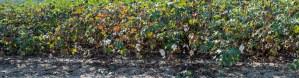 Morning, Cotton, by John Dowell artist photographer