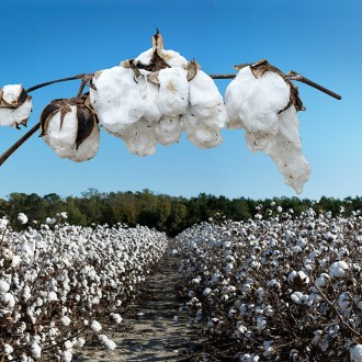 The Protected Way, Cotton, by John Dowell artist photographer