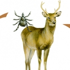 Illustration by John Fraser showing how ticks spread from wildlife to domestic dogs for Dogs In Canada Magazine, ticks, tick infection, tick infects dogs, lyme disease