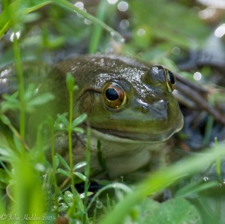 A green frog in our pond