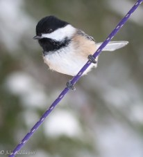A close up of a chickadee by our feeder