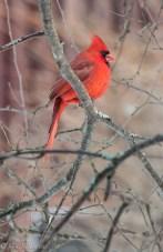 A bright male cardinal