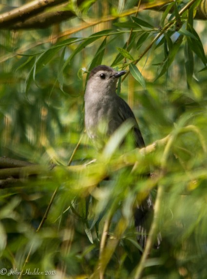 A cat bird in the willow by the pond