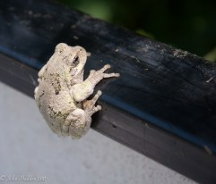 A grey tree frog clings to the gunnel of our canoe