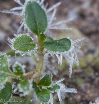 Long dendronic frost crystals form on partridge berry leaves