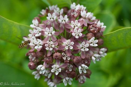 Milkweed in early bloom