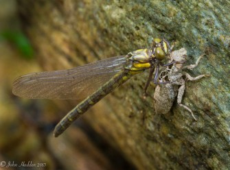 A darner emerges from its larval shell