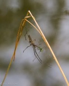 The hunter becomes prey: a damselfly falls prey to an orb weaver.