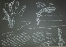 Hand Anatomy - Tendons