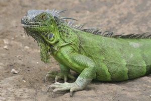 A green iguana on the banks of the Tempisque.