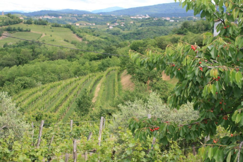 Some of the vineyards that cover the countryside of the Brda region in western Slovenia.