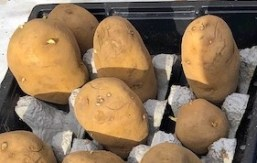 Chitting potatoes in egg boxes