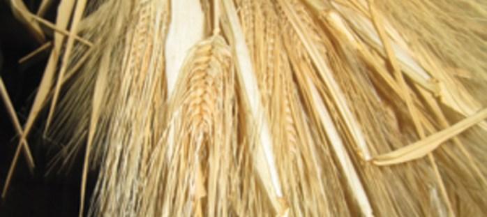 GBA-7220-barley