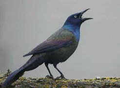 common_grackle zzzzz