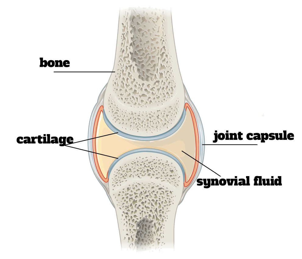 "A joint is where two bones come together. A synovial joint is the kind of joint you think of when you say ""joint"". It has a capsule and allows for quite a lot of movement. Other joints can't able to provide as much movement, and we often don't think of them as joints at all. Like your teeth."