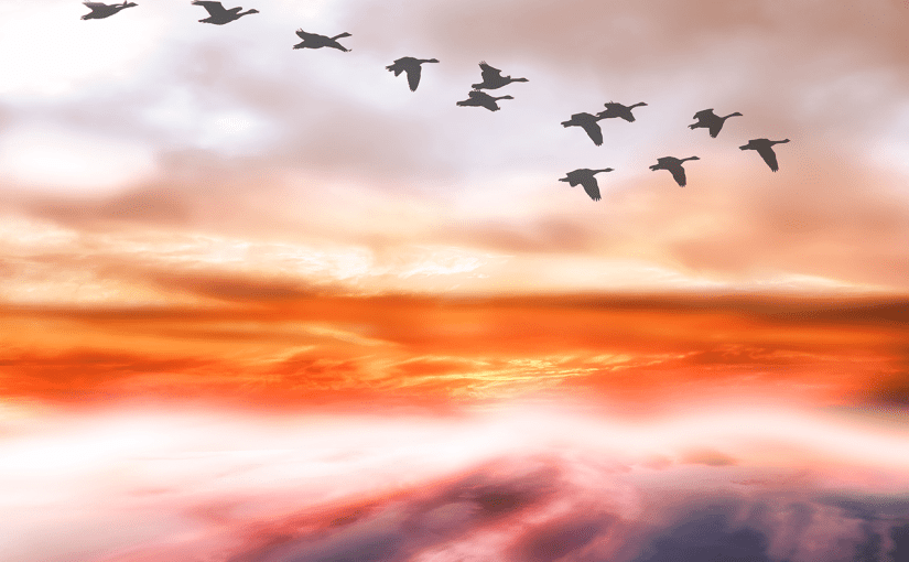 Geese flying above the clouds during sunrise