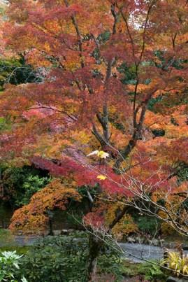 Autumn colour in a temple garden - Kyoto.