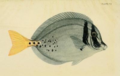 Arcturus Adventure IC plate vi yellow tailed surgeon fish