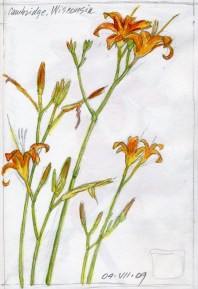 Day Lilies 2 - Watercolor - 12 x 15 inches