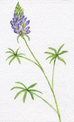 Lupine - Watercolor - 5 x 8 inches