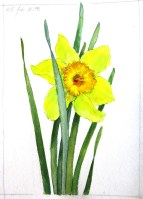 A Daffodil - Watercolor - 8 x 11 inches