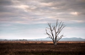Lone tree Mokoan