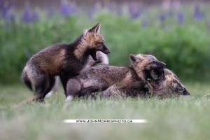 © Copyright John Morris – Do Not Use Without Prior Permission – PEI Fox Pup