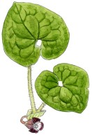 Asarum lemmonii