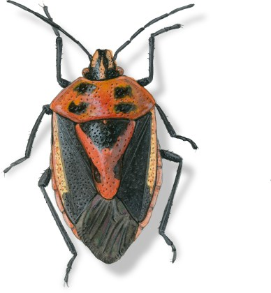 B Agonoscelis rutila