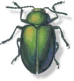 C Gastrophysa cynea