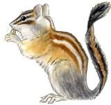 Chipmunk T. alpinus
