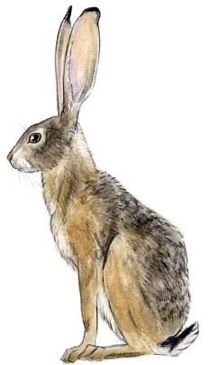 Jackrabbit blacktail