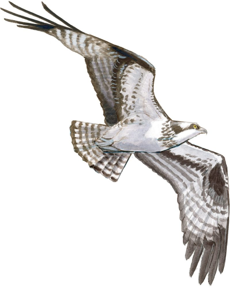 Drawing Raptors and other Large Birds in Flight