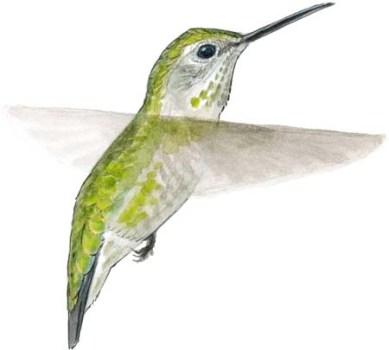 hummingbird annas f flt