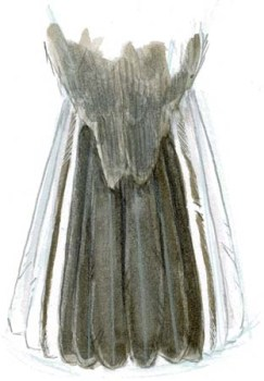 junco dark eyed tail