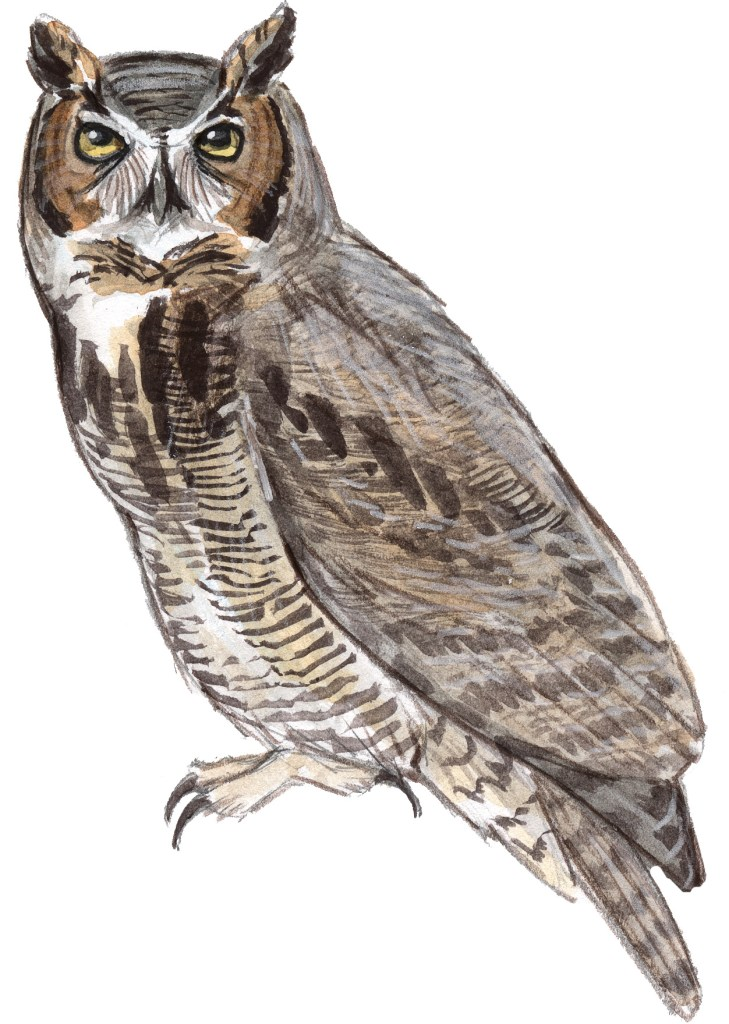Live sketching with a Great Horned Owl