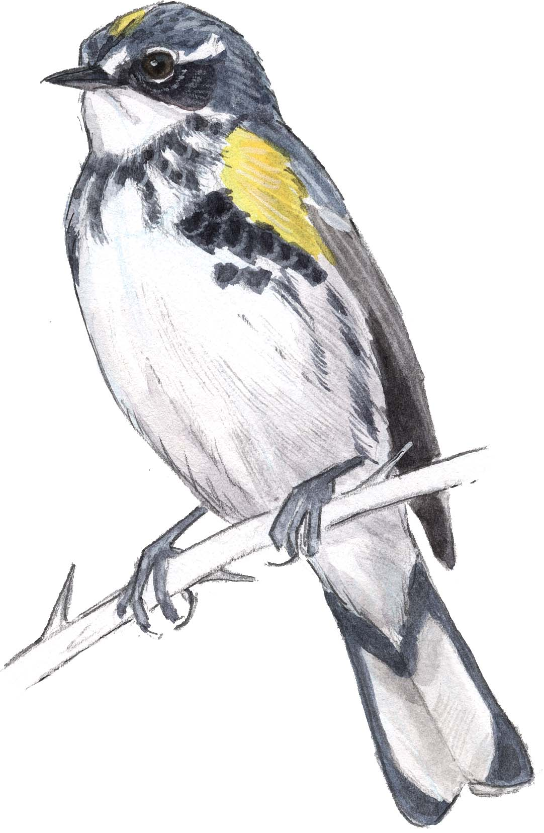How to draw birds the art science of field journaling