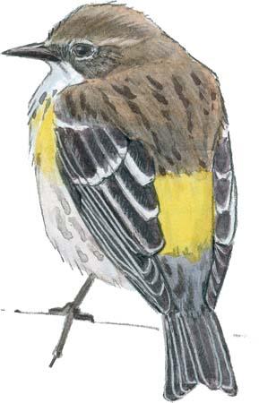 warbler yellow rumped myrtle rear