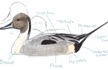 pintail profile 16