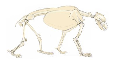 The bear has a plantigrade stance with the entire sole of the foot on the ground. The limbs are relatively short.
